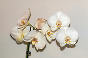 Digitally manipulated image of a White Phalaenopsis Orchid on white background