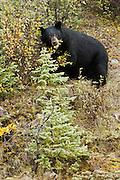 CANADA, Jasper National Park.Black bear (Ursus americanus) eating berries