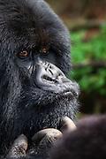Wondering Gorilla. Rwanda-Volcano National Park | Undrende Gorilla, tatt i Volcano National Park, Rwanda