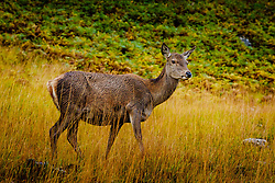 A young red deer hind in Glen Etive, Highlands of Scotland<br /> <br /> (c) Andrew Wilson | Edinburgh Elite media