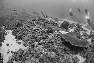 Great Barracuda fish-(Sphyranea barracuda) of Red Sea, Sudan.