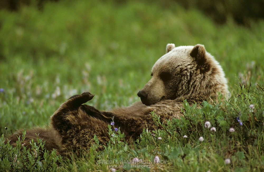 USA, Vereinigte Staaten Von Amerika: Grizzlybär (Ursus arctos horribilis) liegt auf dem Rücken in einer Tundrawiese, entspannt sich und spielt mit seinem Fuss, Denali Nationalpark, Alaska | USA, United States Of America: Brown bear (Ursus arctos horribilis), Grizzly laying on it's back on the meadow of the tundra, relaxed playing with it's foot, Denali National Park, Alaska |