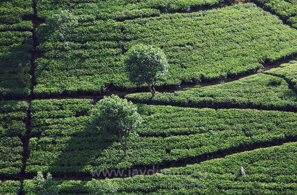 Sri Lanka, Maskeliya, 2006. A lone tea picker tends a hillside crop near Hatton. Tea requires constant pruning and picking during high season.