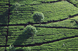 Sri Lanka, Maskeliya, 2006. A lone tea picker tends a hillside crop near Hatton. Tea requires constant pruning and picking during high season.