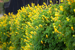 Yellow corydalis growing on a wall in Yorkshire. Corydalis lutea syn. Pseudofumaria lutea