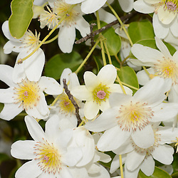 NZ Clematis, Clematis Paniuculata