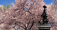 Pink Cherry blossoms on Pilgrim Hill in Central Park. Sculpted by John Quincy Adams Ward, The Pilgrim was gifted to Central Park by the New England Society in 1885.