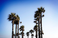 13 June 2013:  Cluster of palm trees windy in the blue sky along PCH in Huntington Beach, CA.