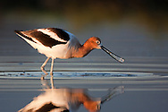 An American Avocet eats a particle of food in a shallow pool in early morning