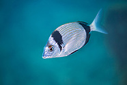 Common two banded seabream (Diplodus vulgaris)