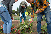 Farmers inspecting fish pepper trials and using flags to select their favorite plants a the Novic Trial field day at OSU.
