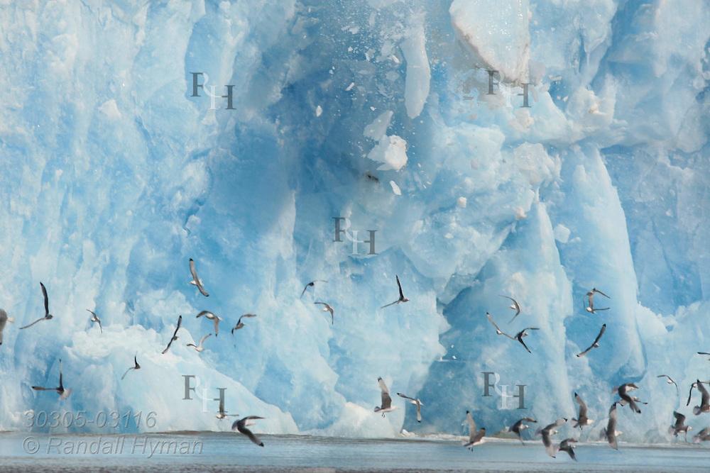 Seabirds scatter as Kronebreen Glacier calves sending massive ice blocks into Arctic Ocean; Kongsfjorden, Svalbard, Norway.