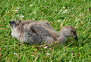 upland goose chick / Magellan goose / Chloephaga picta. Hosteria Pehoe, Lago Pehoe, Ultima Esperanza Province, Chile, Patagonia, South America. Torres del Paine National Park is listed as a World Biosphere Reserve by UNESCO.