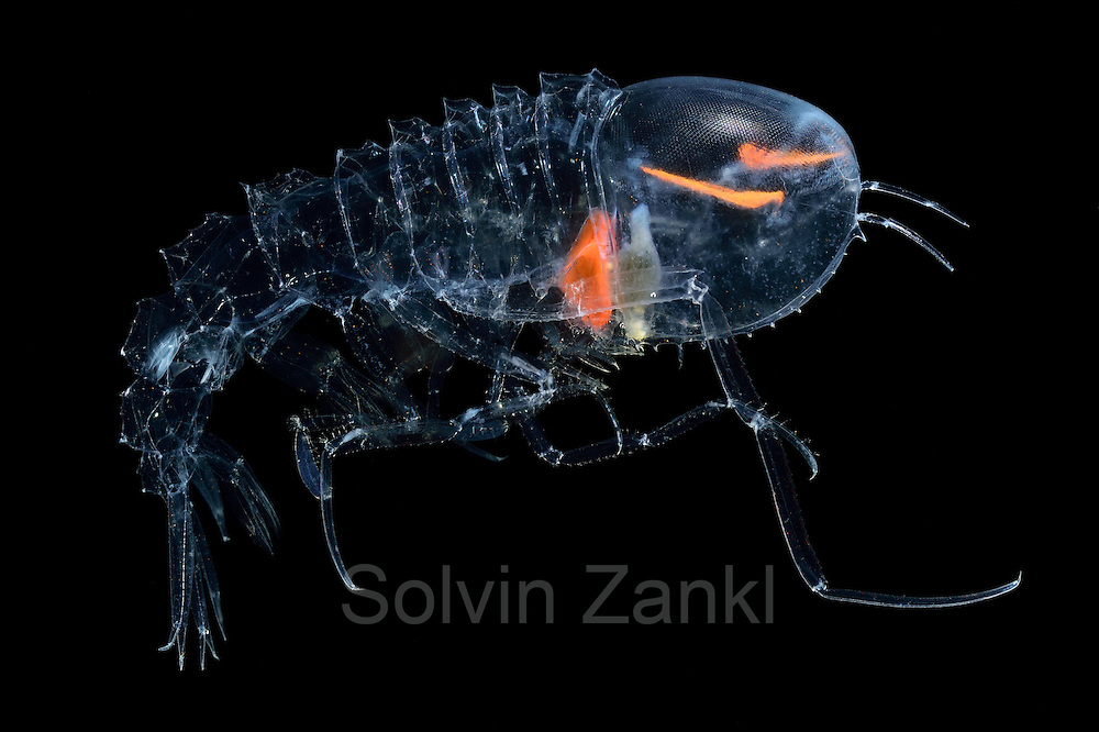 [captive] Deep Sea Amphipod (Cystisoma neptuni) has a transparent body, with the exception of the stomach and its compound eyes.  They may feed on on soft-bodied animals. | Amphipode (Cystisoma neptuni) (Flohkrebs)