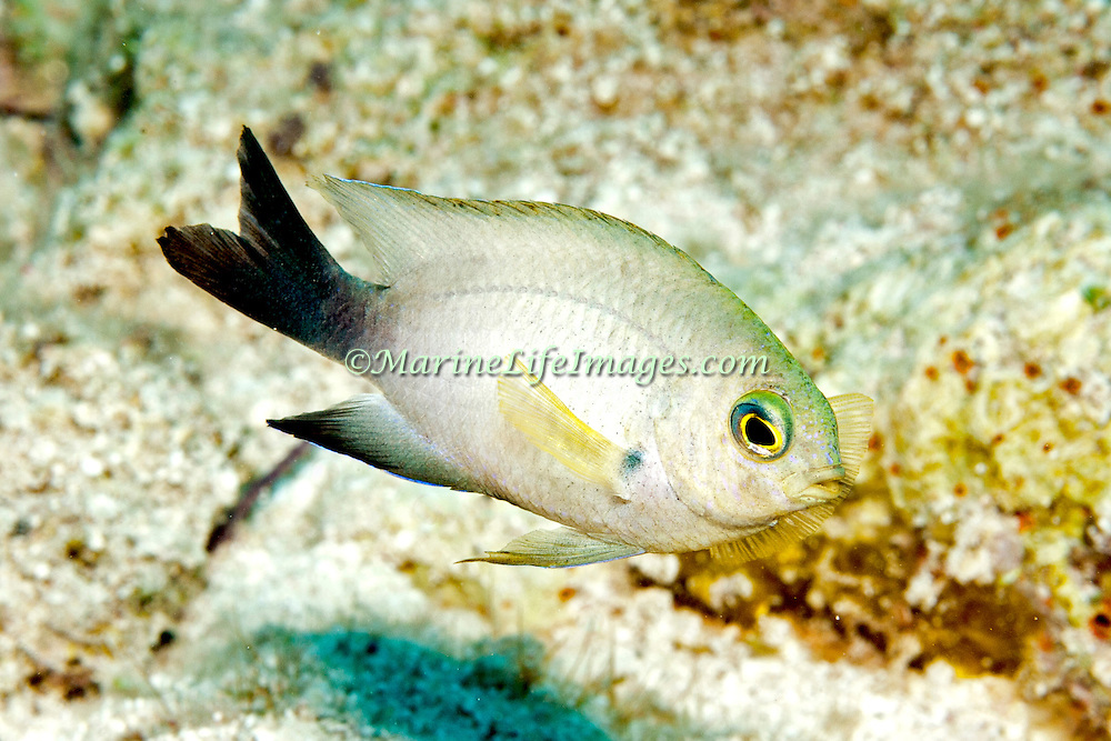 Bicolor Damsilfish inhabit patch reefs and areas of sand and coral rubble, in Tropical West Atlantic; picture taken Little Cayman 2013