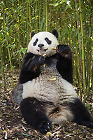 Giant panda, Ailuropoda melanoleuca, sitting in a bamboo grove eating.