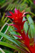 Bromeliad, Hawaii Tropical Botanical Garden, Hilo, Hamakua Coast, Big Island of Hawaii