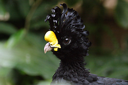 05 June 2005:   The great curassow is a large, pheasant-like bird from the Neotropics.