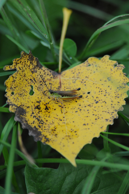 This grasshopper rested on a yellow Aspen leaf on its journey across my yard.