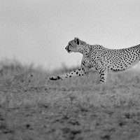 Cheetah (Acinonyx jubatus) is a vulnerable cat/feline (Felidae), which hunts by speed and stealth. It is the fastest land animal