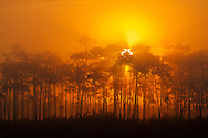 The sun rises behind a pine hammock on a foggy morning in Everglades National Park, Florida. WATERMARKS WILL NOT APPEAR ON PRINTS OR LICENSED IMAGES.<br />