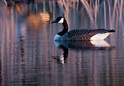 Goose on pond at sunset creates reflections and mood as the sun sets.