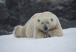 Polar Bear (Ursus maritimus) in Spitsbergen, Svalbard