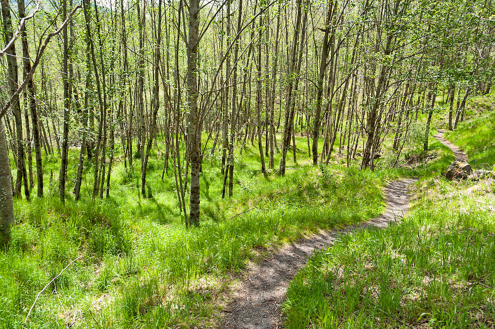 The Hummocks trail through Red Alder (Alnus rubra) at Mt. St. Helens National Monument.
