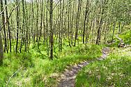 The Hummocks trail through Red Alder (Alnus rubra) at Mt. St. Helens National Monument.