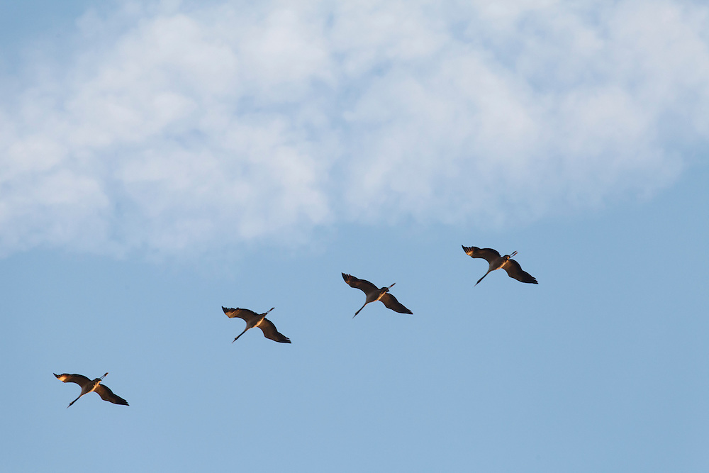 Cranes (Grus grus) against blue sky with white clouds, Montier en Der, France