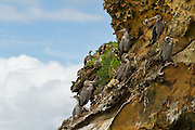 Spotted Shags on a cliff face at Abel Head, Puponga, New Zealand