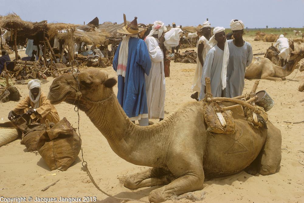 Africa, Sahel region, Chad, Kanem. Dromedary camel at market in Ngueleydinga.