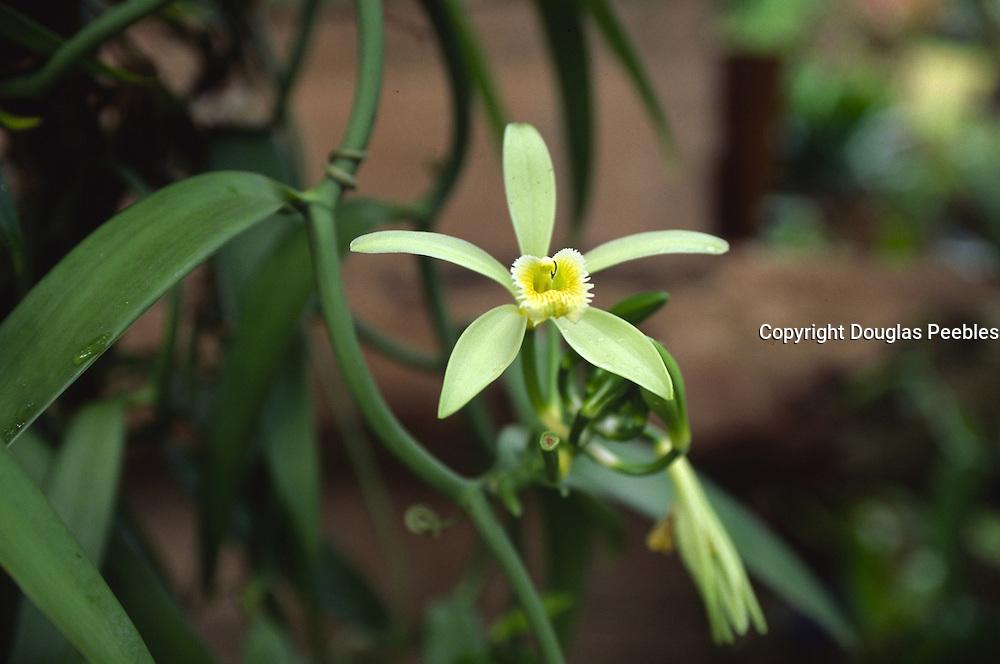 Vanilla Flower, French Polynesia<br />