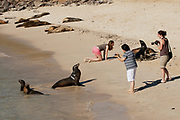 Tourists mingle with the Galapagos sea lions at Barrington Bay on the island of Santa Fe, Galapagos.