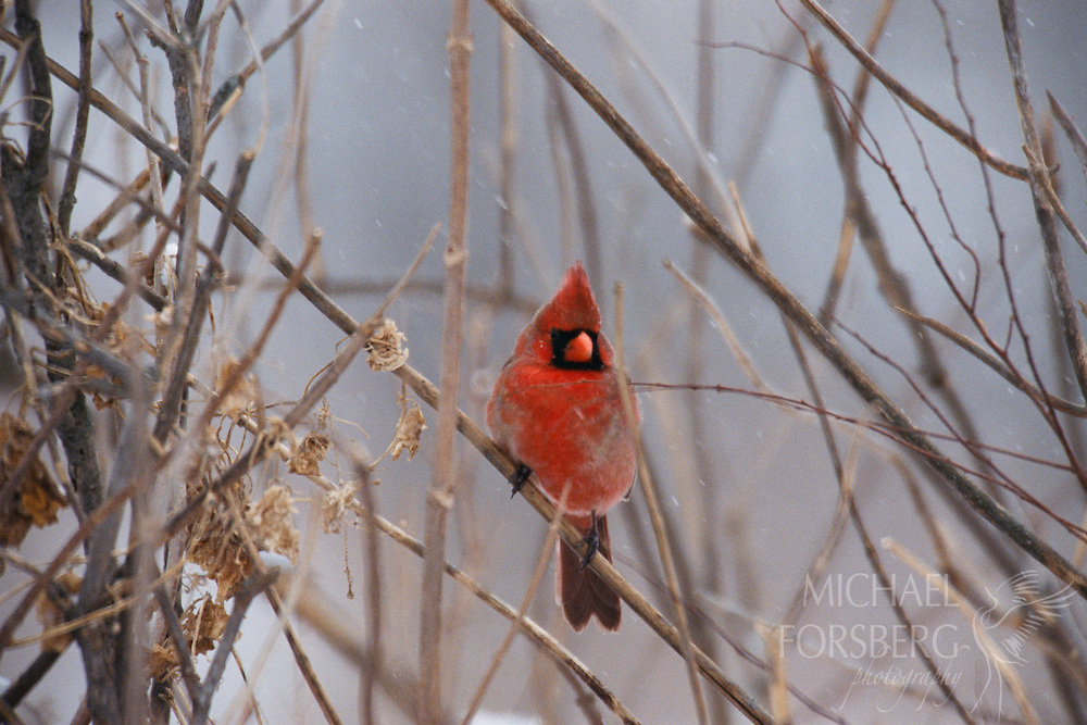 Northern Cardinal. Audubon Spring Creek Prairie, Eastern Nebraska. Cardinals can be found amidst snowy branches throughout the winter, looking for seeds and dried fruit or just gazing at the fallen snow. Their bright red plumage is a beautiful contrast to the white and grays of winter and their clear bright song continues throughout the year despite the rain or snow. Cardinals mate for life and the females will counter sing to the ringing songs of the male in a cheerful duet. They can be found everywhere from southern Canada through the eastern United States from Maine to Texas and south through Mexico to northern Guatemala and Belize. They thrive in the riparian woodlands of Audubon Spring Creek Prairie.