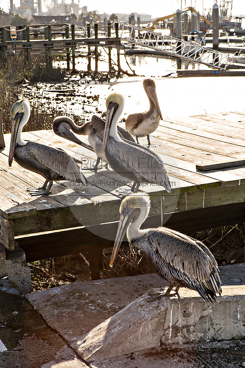 Brown pelicans along the waterfront of Fernandina Beach, Florida