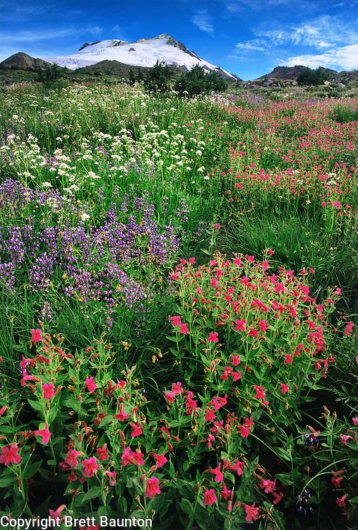 Mt. Baker Wilderness Area; Wildflowers; Monkeyflower, Lupine, Valerian, Pacific NW; South Side, Scott Paul Trail; Meadow, Washington State