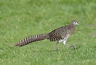 Lady Amherst's Pheasant - Chrysolophus amherstiae - female.