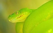 A green boa constrictor