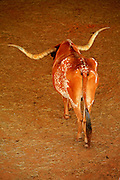 Long horn bulls, Fort Worth Stock Yards, Fort Worth, Texas