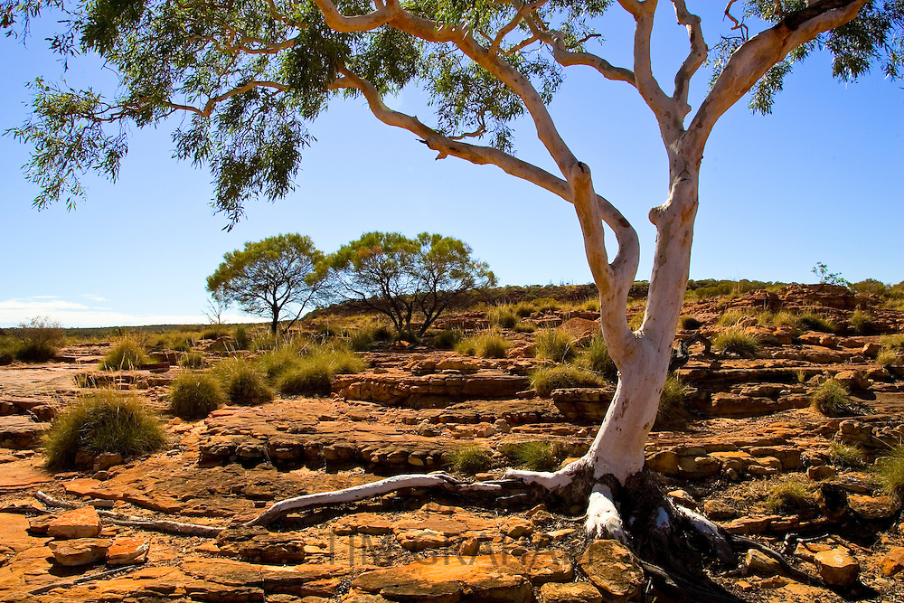 Trees at King's Canyon, Northern Territory, Australia