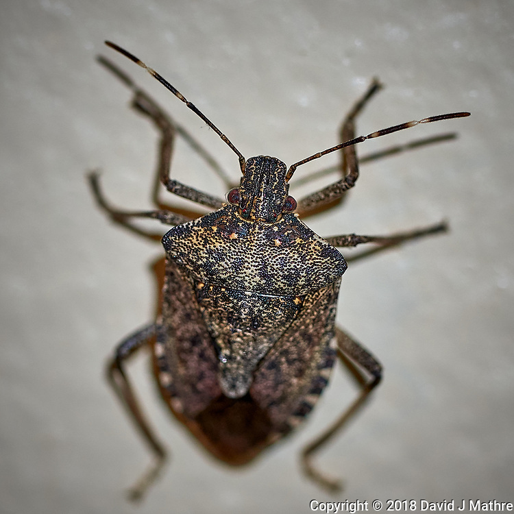 Stink Bug. Image taken with a Leica TL2 camera and 60mm f/1.4 lens (ISO 200, 60 mm, f/3.4, 1/60 sec)