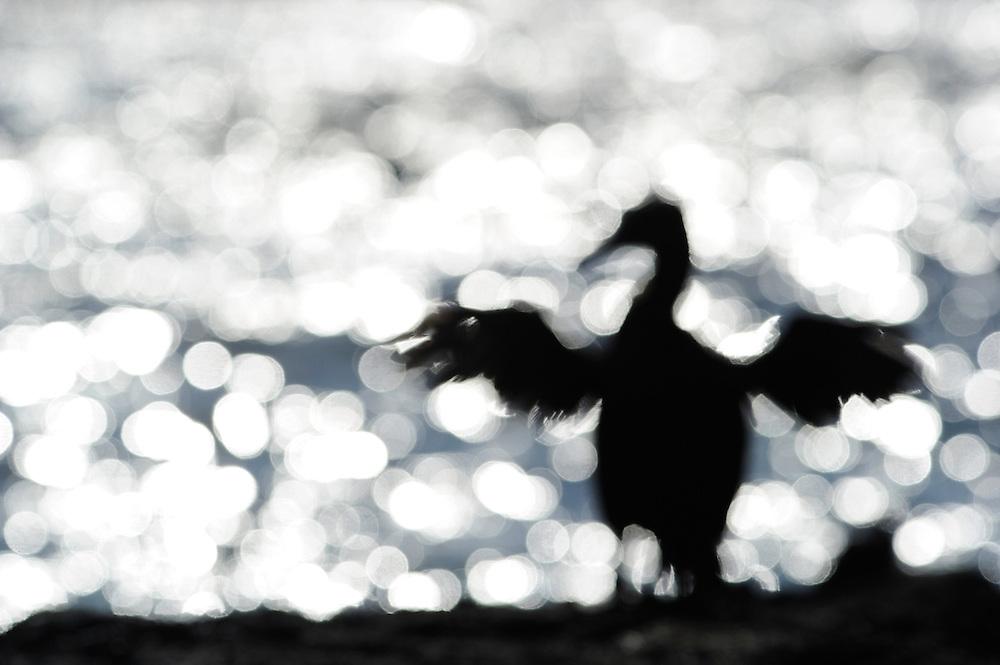 Flightless Cormorant (Phalacrocorax harrisi), also known as the Galapagos Cormorant, Fernandina island, Punta espinosa, Galapagos, Ecuador.