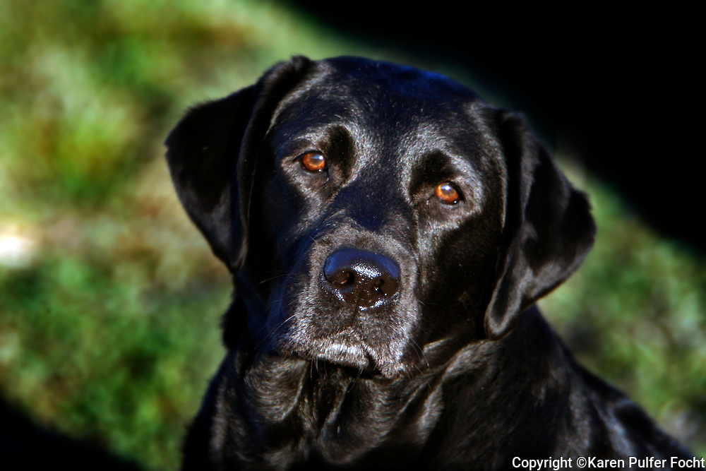 Bella, a black labrador retriever from Memphis, Tennessee.
