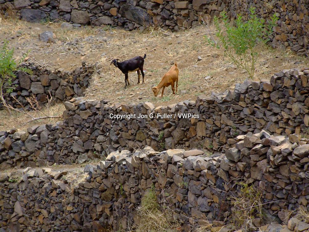 Goats graze on the rock terraces near Fontainhas, Santo Antao, Republic of Cabo Verde, Africa.