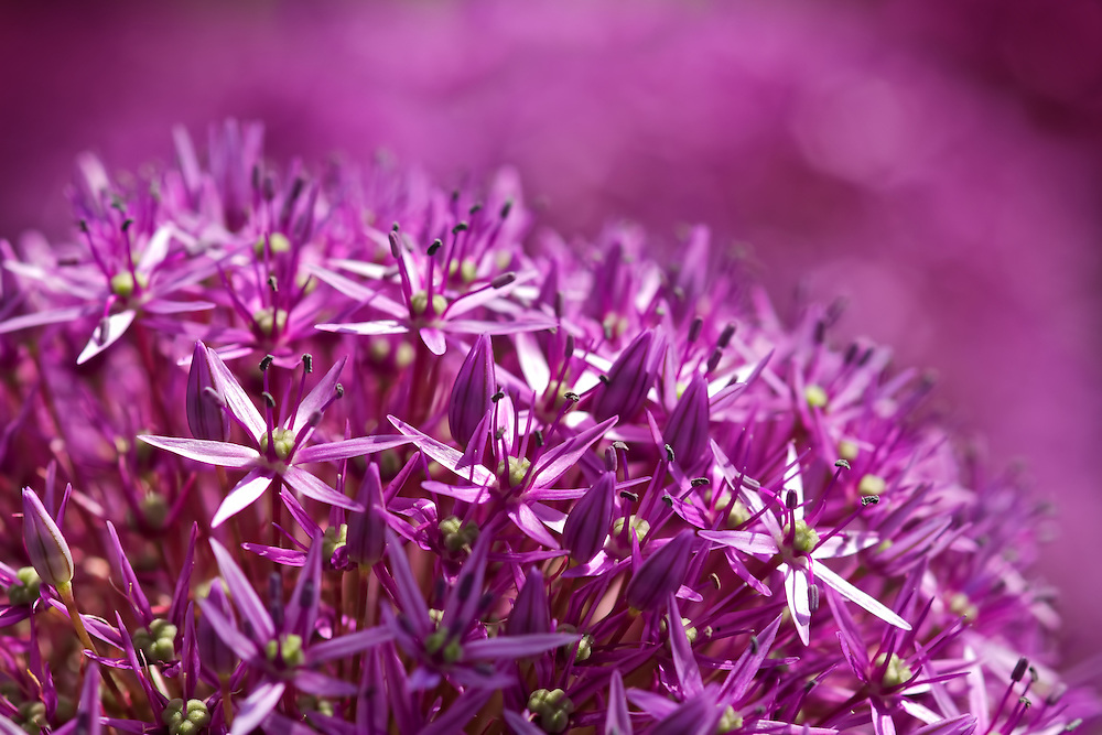 Purple Haze<br />