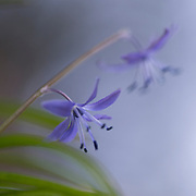 Endangered wildflower Maquis Squill (Scilla cilicica) endemic to high mountains in Israel upper Galilee Golan and Hermon