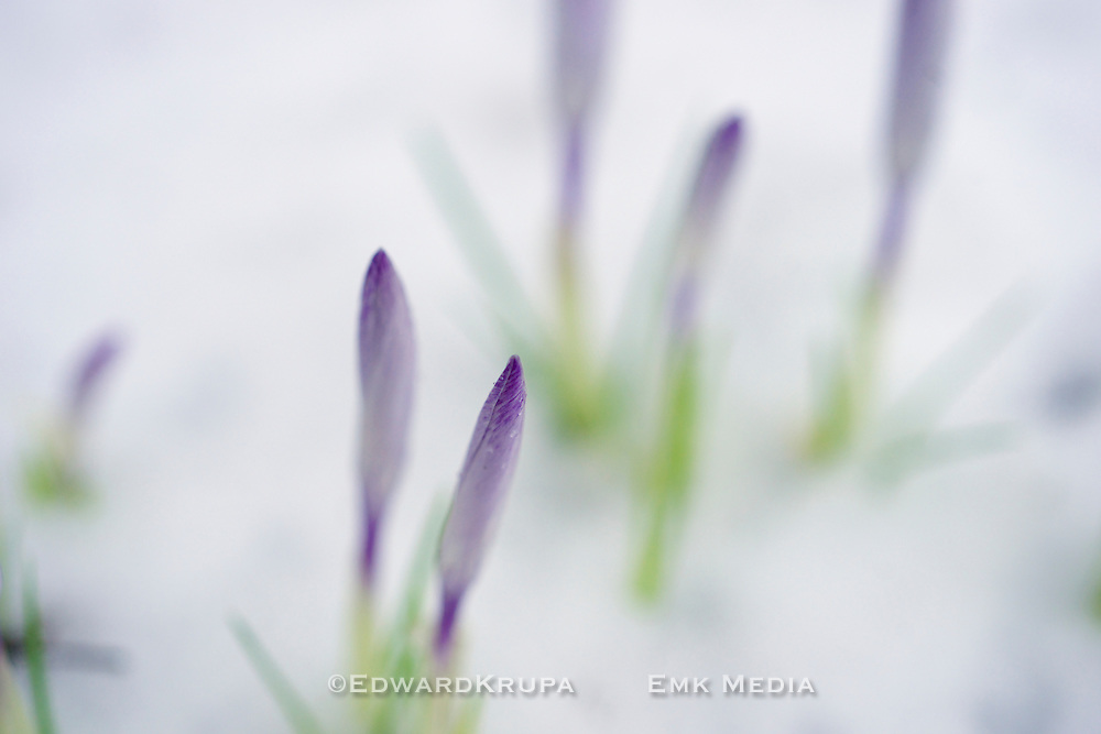 Crocuses emerge out of snow as a early sign of spring.