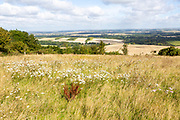 Wildflowers chalk grassland vegetation Inkpen Hill looking north over countryside, Berkshire, England, UK