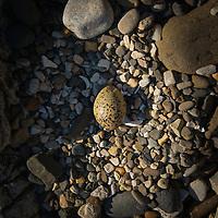 Oystercatchers Egg, Laig bay, Isle of Eigg
